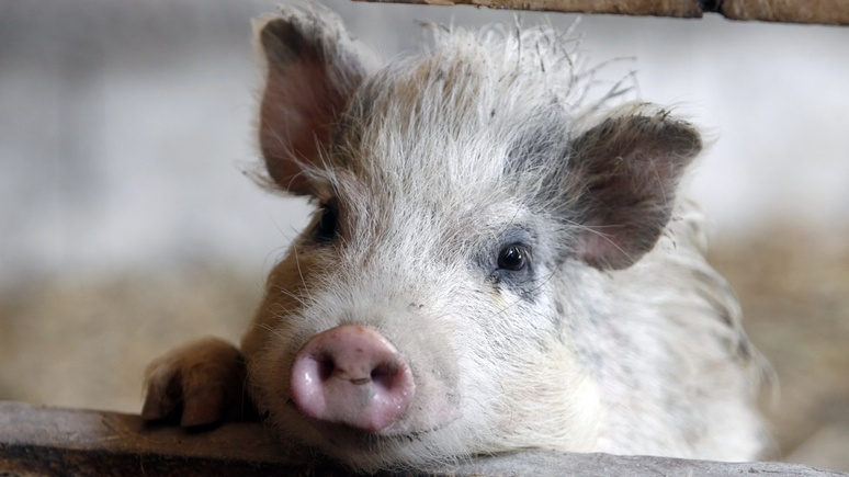 Das Erste: немецким кабанам вход запрещён — Дания отгородилась от Германии забором из страха перед свиной чумой