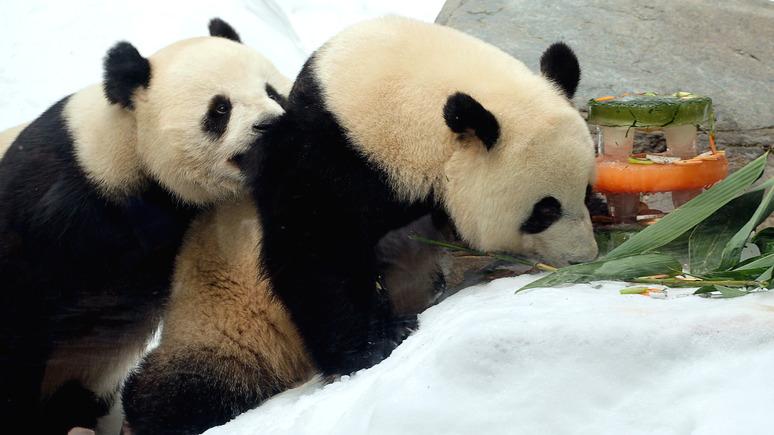 SCMP: в закрытом на карантин парке в Гонконге панды спарились впервые за 10 лет