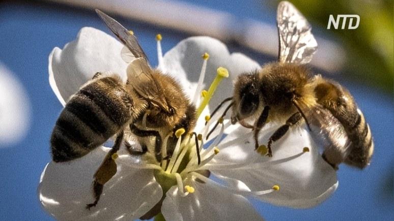 NTD: популяция пчёл восстанавливается благодаря карантину