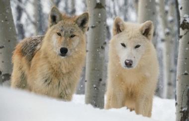 الذئب القطبي من اكثر الحيوانات دهاءا وغدرا