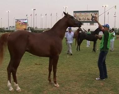 المهرجان العالمي 5 للخيول العربية في ليبيا