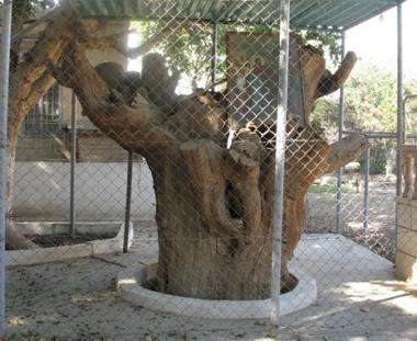 شجرة تين زكا