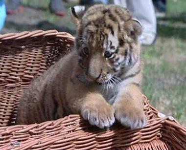 حديقة حيوانات المانية تشهد ولادة نمر سيبيري