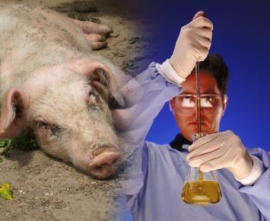 علماء روس مستعدون لصنع لقاح مضاد لإنفلونزا الخنازير خلال 3 أشهر