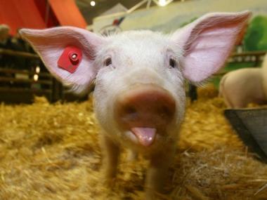اوكرانيا تعلن نفسها مضيفا جديدا لانفلونزا الخنازير