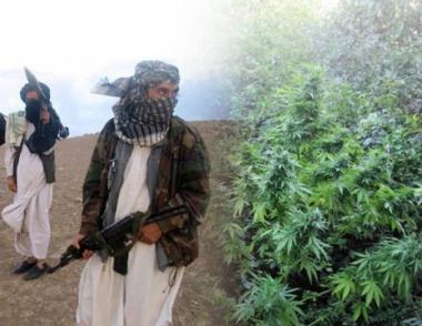 روسيا قلقة من توسع زراعة القنب في شمال أفغانستان
