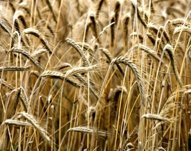روسيا تفوز بالمناقصة الدولية لتصدير 180 الف طن من القمح الى مصر
