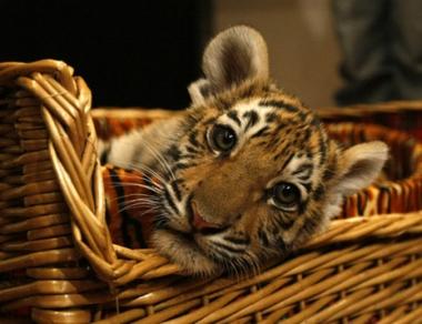 منتدى النمر في بطرسبورغ يبحث عن وسائل لإنقاذ النمور من الانقراض