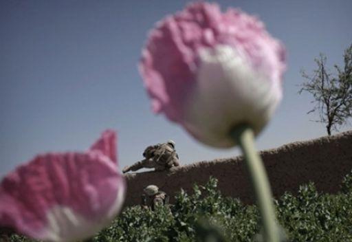 حقول الخشخاش في افغانستان