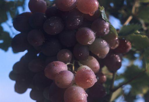 العنب الاحمر وسيلة ممتازة لمكافحة السرطان