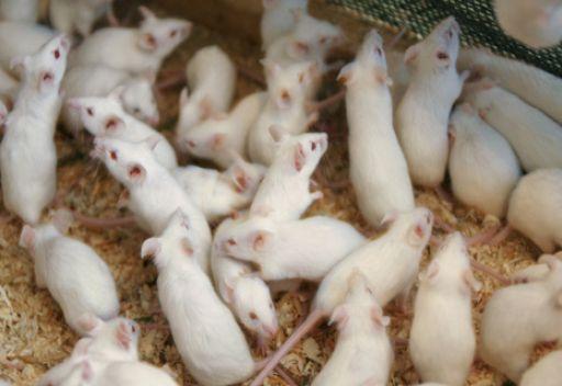 تجارب يابانية تسفر عن فئران مغردة