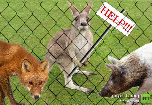 رغم مساعدة خنزير وثعلب.. كنغر يفشل بالهروب من حديقة الحيوانات