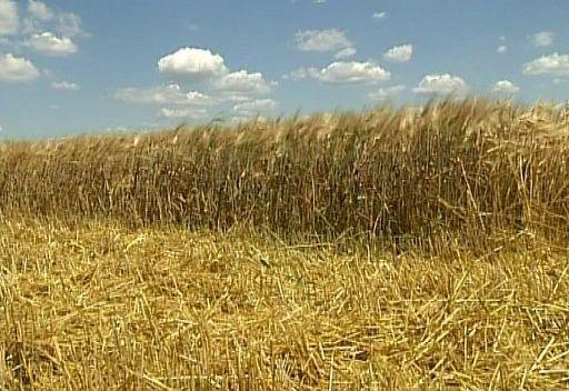 روسيا تتوقع جني 70 ـ 75 مليون طن من الحبوب هذا العام