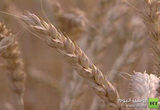 وزير الزراعة الروسي يستبعد فرض حظر على صادرات الحبوب