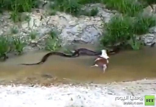 فيديو .. أناكوندا تلفظ بقرة في أدغال البرازيل
