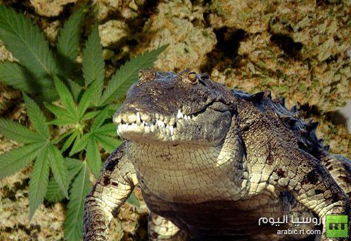 شرطة كاليفورنيا تعثر على تمساح لحماية المخدرات في منزل أحد المشبوهين