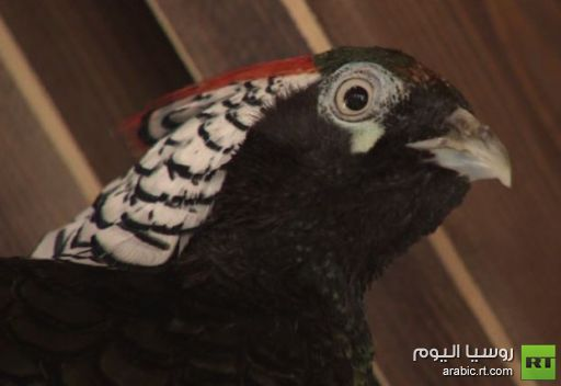 طيور الدراج الذهبي تبهج نظر زوار متنزه غوركي الموسكوفي