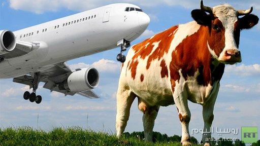 طائرة تصطدم ببقرة وتؤدي إلى نفوقها في أحد مطارات إندونيسيا