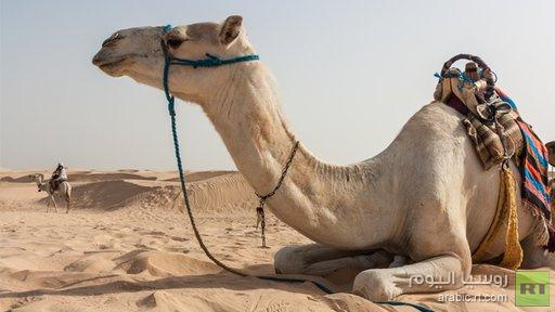 دراسة ترجح فرضية حمل الجمال العربية لفيروس