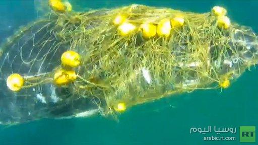 بالفيديو .. إنقاذ حوت علق بشباك صيادين في أستراليا