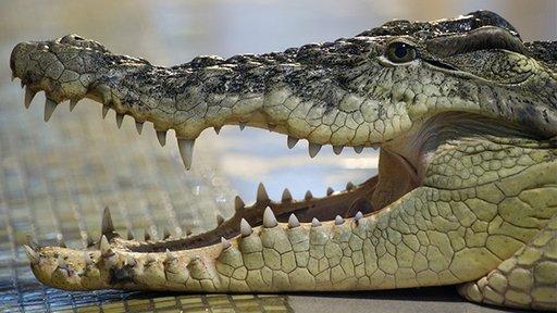بالفيديو .. تمساح تائه يتجول بالقرب من أحد أنهار يكاتيرينبورغ والشرطة تفشل بالعثور عليه