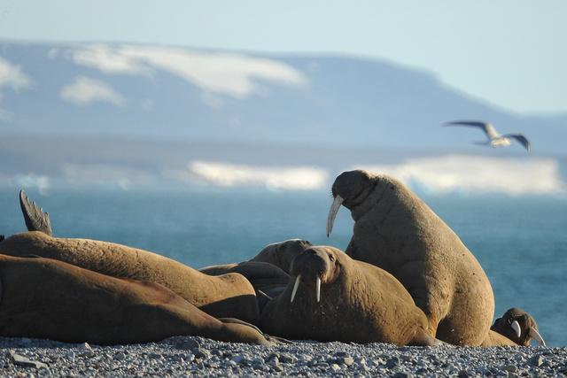 زحف 10 آلاف فظ إلى شاطئ شمال غرب ألاسكا