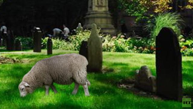 إدارة مقبرة بريطانية تستخدم النعاج بدلا من جزازة عشب