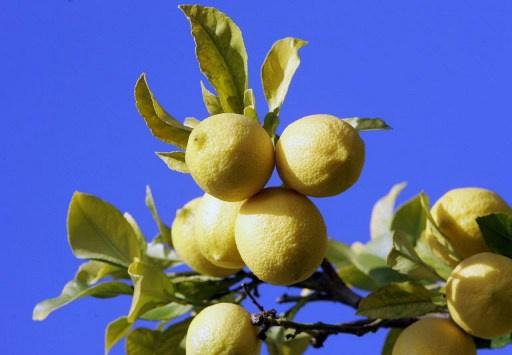 الليمون يساعد في استنساخ شفرة وراثية لخلية اصطناعية