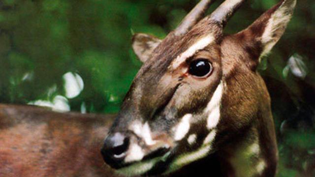 فيتنام...اكتشاف وتصوير حيوان Saola