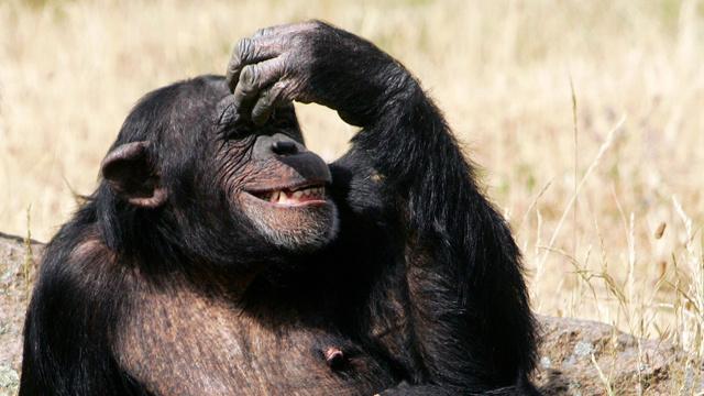 نشطاء أمريكيون يطالبون باعتبار سعادين الشمبانزي شخصيات لها حقوقها