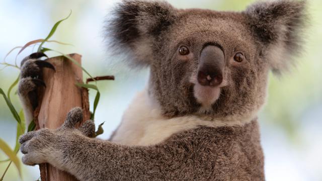 علماء الاحياء يكتشفون مصدر الاصوات التي تطلقها ذكور الكوالا في موسم التكاثر
