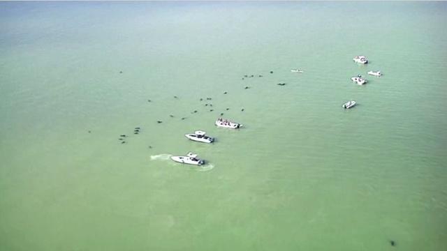 بالفيديو.. نفوق 10 حيتان في ولاية فلوريدا ومحاولات لإنقاذ عشرات أخرى