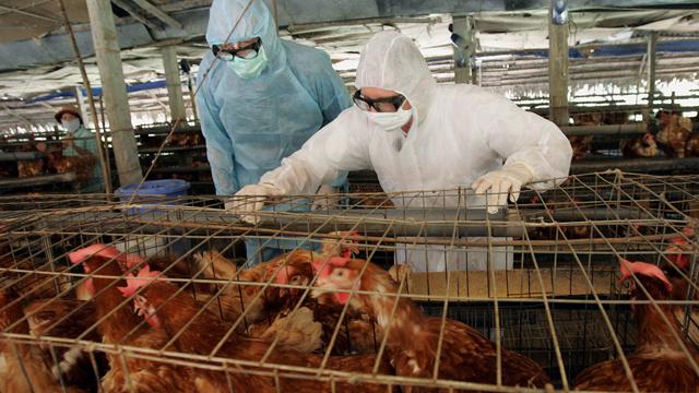العثورعلى سلالة خطيرة جدا لإنفلونزا الطيور