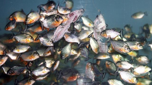 الأرجنتين...أسماك بيرانا تهاجم المصطافين
