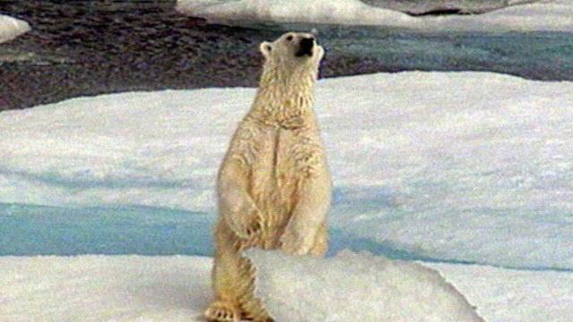 الصندوق العالمي للطبيعة في روسيا ينتظر ولادة 5 آلاف دب قطبي عشية رأس السنة