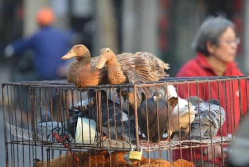 أول وفاة بأنفلونزا الطيور في كندا