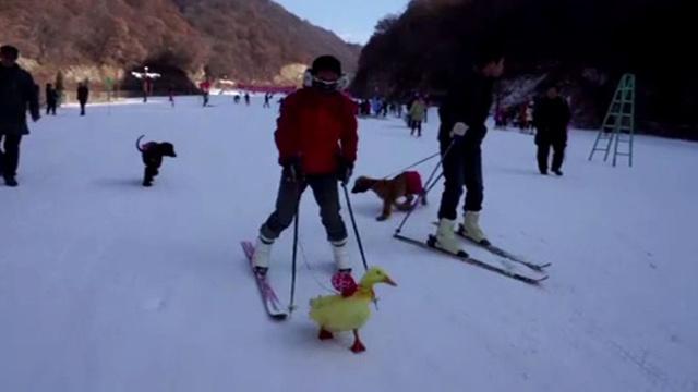 فيديو.. سلحفاة تسبق أرنبا بسباق تزلج في الصين شاركت فيه حيـوانات مختلفة برفقة أصحابها