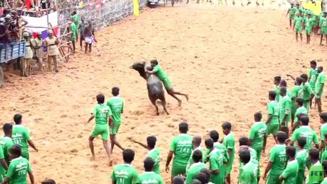 بالفيديو: 41 مصابا في مهرجان لمصارعة الثيران في الهند