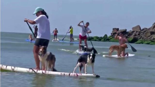 بالفيديو...منافسة ركوب الأمواج خاصة بالكلاب