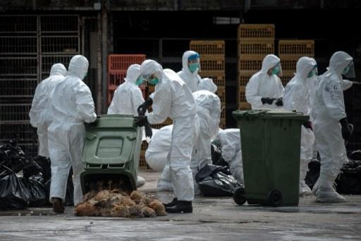 سلطات هونغ كونغ تبدأ باعدام 20 الف دجاجة بعد اكتشاف فيروس انفلونزا الطيور