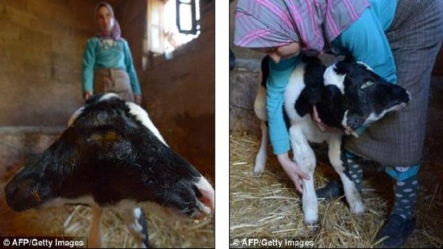 ولادة عجل برأسين في المغرب (فيديو - صور)