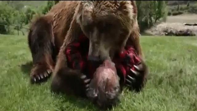 بالفيديو .. أمريكي مغامرا برأسه يضعه بين فكيّ دب ضخم