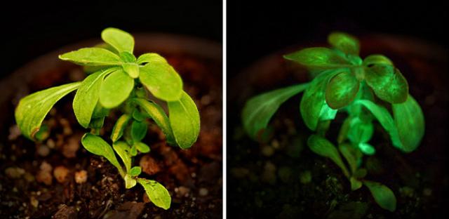 نباتات معدلة وراثيا بدلا من المصابيح