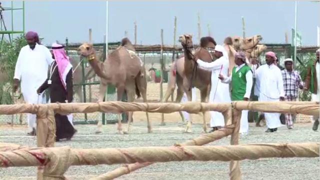 بالفيديو: مهرجان سلطان بن زايد التراثي للإبل 2014