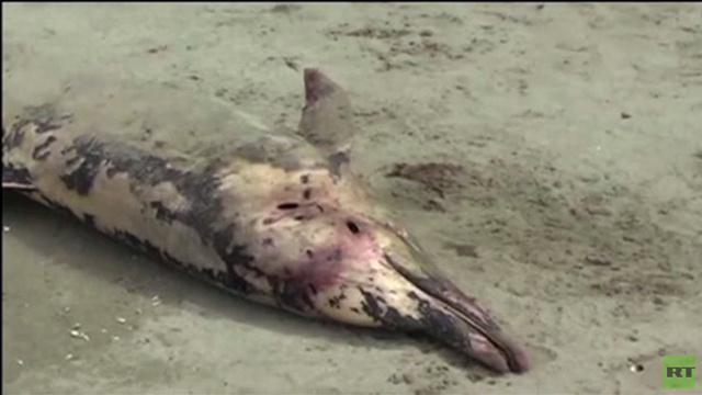 بالفيديو... العثور على أكثر من 400 دلفين ميت على ساحل بيرو