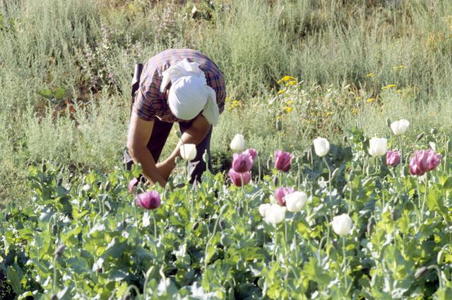 مسؤول اممي: المساحات المزروعة بخشخاش الافيون في افغانستان بلغت اكثر من 200 الف هكتار