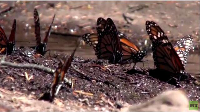 بالفيديو.. العضويات المعدلة وراثيا تهدد هجرة الفراشة الملكية إلى المكسيك
