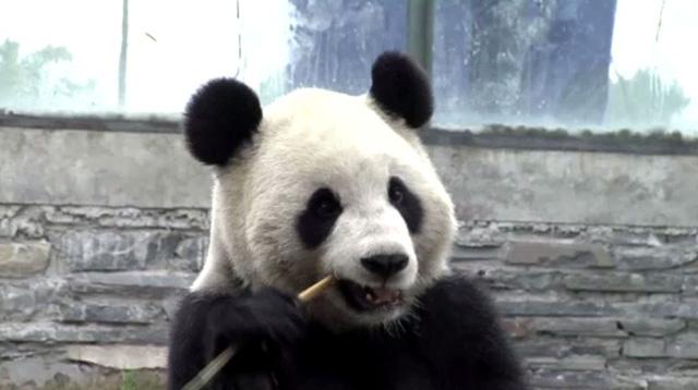 زوج من حيوانات الباندا يصل الى بلجيكا بعد استعارته من الصين (فيديو)