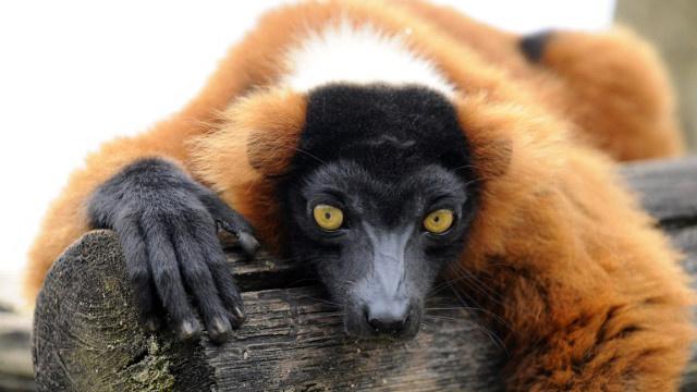 أنشطة الإنسان تهدد الليمور بالانقراض في مدغشقر