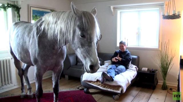 بالفيديو.. الحصان العربي يعيش في منزل صاحبته